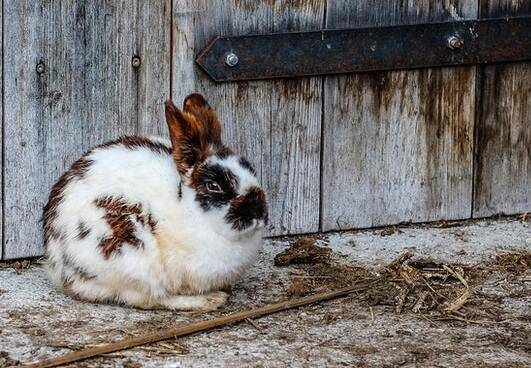 large hutch for rabbit